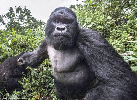 Gorilla picchia fotografo e Orca in menopausa