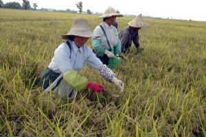 Casalbeltrame ( NO) cinesi nelle risaie