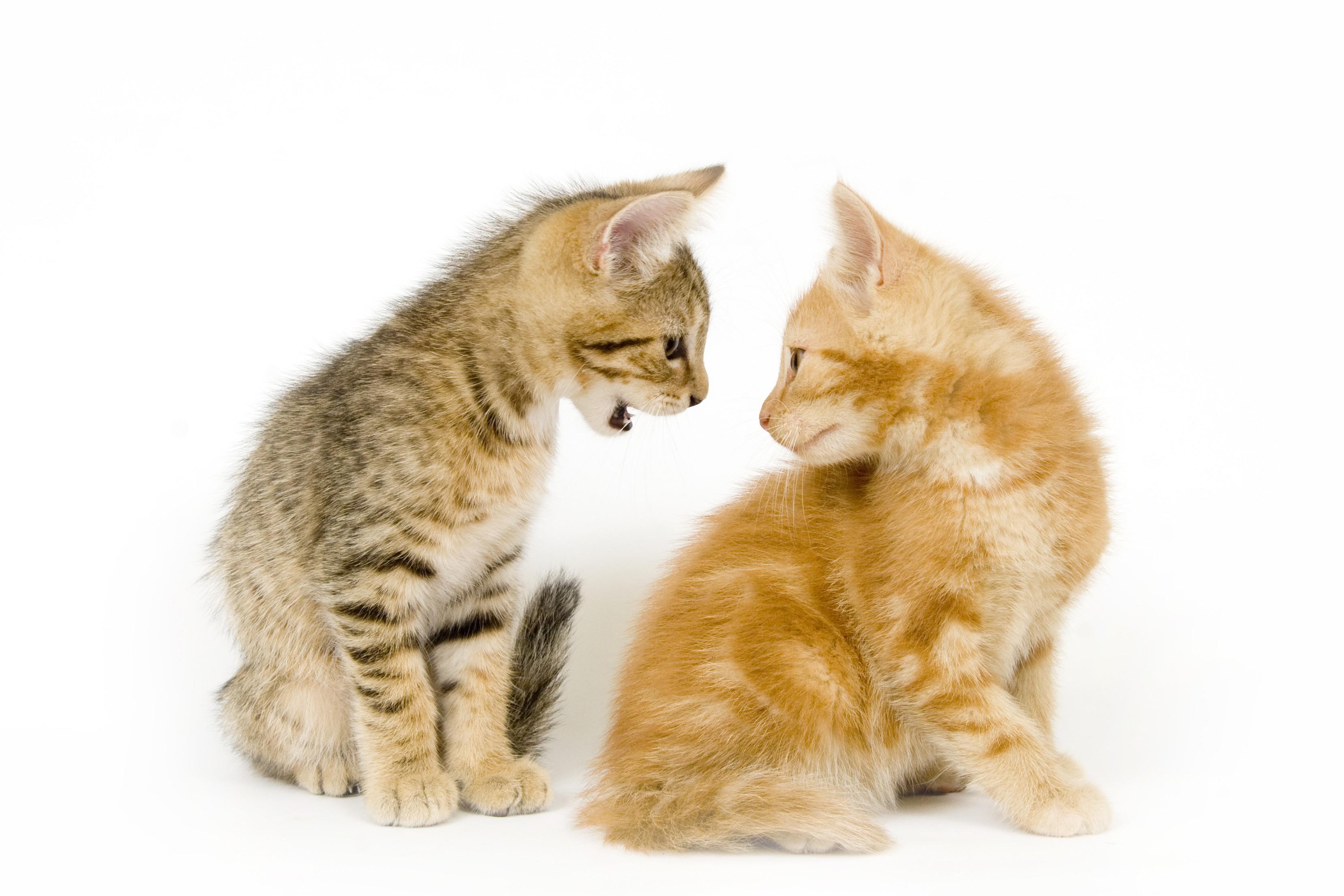 gatto invidioso