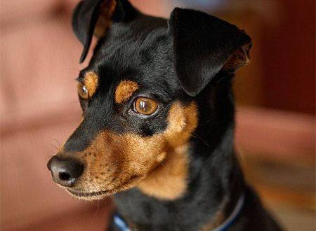 Cane muore vegliando sul corpo del padrone