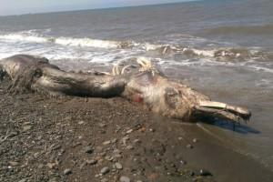 Mostro marino in Russia – solo un cetaceo